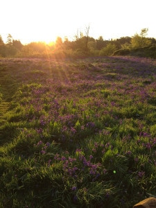 Bluebells on the motte and bailey at sunrise