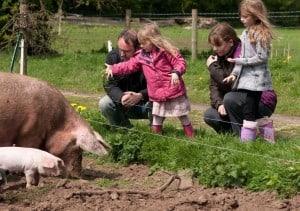 family pigs