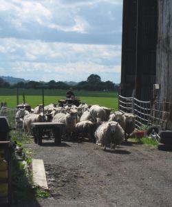 ben hollins sheep at Fordhall Organic Farm Shropshire