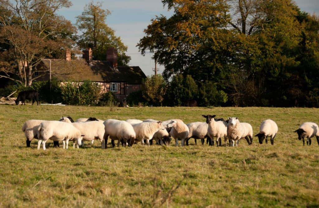 Fordhall Organic Farm sheep