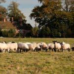 Fordhall Organic Farm sheep