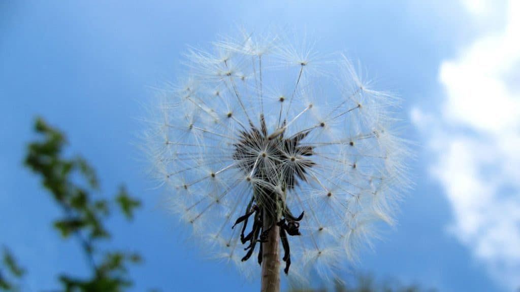 Dandelion at fordhall organic farm