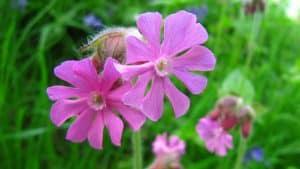 Pink flowers at fordhall organic farm
